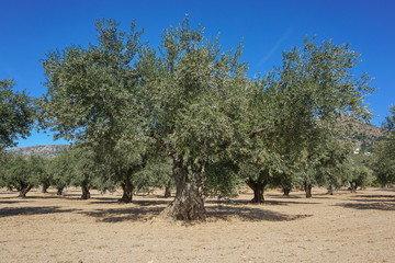 Der Olivenbaum - Der Olivenbaum